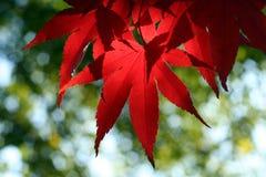 Het rode Blad van de Esdoorn Stock Afbeeldingen