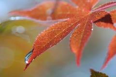 Het rode Blad van de Esdoorn met de Daling van het Water Stock Foto's