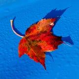 Het rode Blad van de Esdoorn op Blauw Stock Afbeeldingen