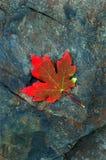 Het rode Blad van de Esdoorn van de Herfst op Rots stock afbeelding