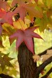 Het rode Blad van de Herfst Stock Afbeeldingen