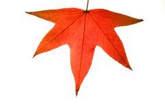 Het rode Blad van de Herfst royalty-vrije stock foto's