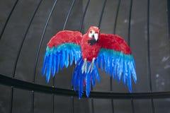 Het rode blauwe dichte schot van de papegaaivogel in birdcage Stock Fotografie