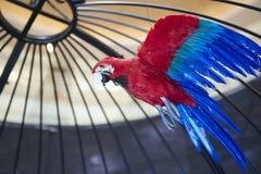 Het rode blauwe dichte schot van de papegaaivogel in birdcage Stock Afbeeldingen