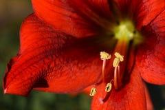 Het rode bloem bloeien Hippeastrum Royalty-vrije Stock Foto