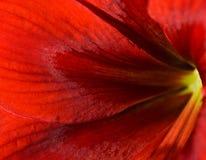 Het rode bloem bloeien Hippeastrum Stock Afbeelding