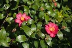 Het rode bloem twee bloeien Royalty-vrije Stock Afbeelding
