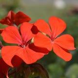 Het rode Bloemen Bloeien royalty-vrije stock afbeelding