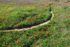 Het rode bloemen bloeien (wilde anemonen) Royalty-vrije Stock Foto's
