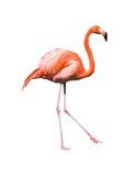 Het rode Caraïbische flamingo dansen stock foto's