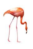 Het rode Caraïbische flamingo zoeken stock fotografie