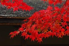 Het rode dak van esdoornbladeren Stock Afbeeldingen