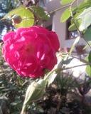 Het rode damast nam bloem in aardtuin en huis toe vector illustratie