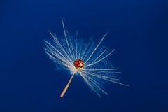 Het rode dameinsect zit op een drijvende dandoline in blauwe hemel Royalty-vrije Stock Foto's