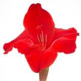 Het rode die Close-up van de Gladiolenbloem op Witte Achtergrond wordt geïsoleerd Stock Foto