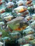 Het rode doen zwellen piranha onderwater zwemmen (Serrasalmus-nattereri) Royalty-vrije Stock Fotografie