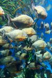 Het rode doen zwellen piranhaschool onderwater zwemmen (Serrasalmus-nattereri) Royalty-vrije Stock Foto's