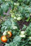 Het rode en groene tomaten groeien Royalty-vrije Stock Afbeeldingen