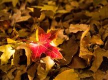 Het rode esdoornblad, close-up, vernietigde bladeren, de herfstlandschap stock afbeelding