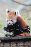 Het rode Eten van de Panda stock afbeelding