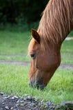 Het rode Eten van het Paard Royalty-vrije Stock Fotografie