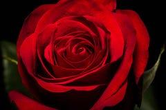 Het rode fluweel nam toe Royalty-vrije Stock Afbeeldingen