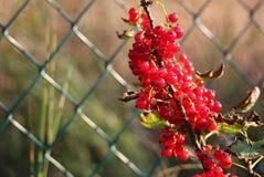Het rode fruit van de bessenbes in de tuin Royalty-vrije Stock Afbeelding