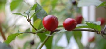 Het rode fruit van de Spaanse peperpeper Stock Foto