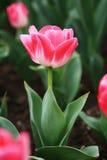 Het rode gebied van Tulpen Stock Foto's