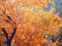 Het rode gebladerte van de herfst Stock Afbeeldingen