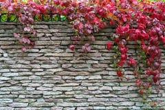 Het rode gebladerte van klimplant is op een steenmuur stock afbeeldingen