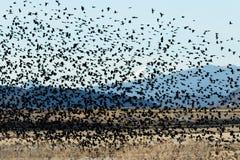 Het rode gevleugelde zwarte vogels vliegen Stock Foto's