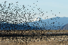 Het rode gevleugelde zwarte vogels vliegen Royalty-vrije Stock Afbeeldingen