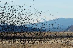 Het rode gevleugelde zwarte vogels vliegen Royalty-vrije Stock Fotografie