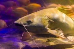 Het rode gezicht van de staartkatvis in close-up, grote vissen van het bassin van Amazonië, populaire vissen in aquicultuur en de stock foto's