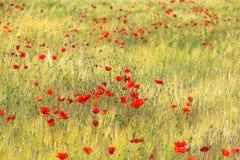 Het rode Groeien van Papavers Royalty-vrije Stock Afbeeldingen