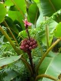 Het rode Grote Eiland Hawaï van de banaanboom Stock Afbeeldingen
