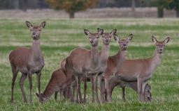 Het rode Hert Stock Afbeeldingen