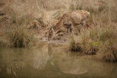 Het rode herten achterste drinken Royalty-vrije Stock Foto