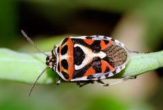 Het Rode Insect van de kool Royalty-vrije Stock Foto