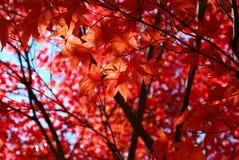 Het rode Japanse Gebladerte van de Esdoorn Royalty-vrije Stock Foto
