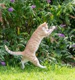 Het rode kat springen, die een vlinder proberen te vangen stock foto