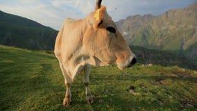 Het rode koe weiden op een bergweiland stock videobeelden