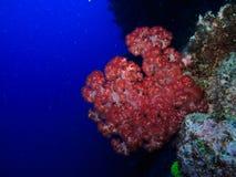 Het rode Koraal van de Brand op Groot Barrièrerif Australië Royalty-vrije Stock Afbeeldingen