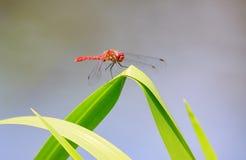Het rode libellen rusten Stock Foto