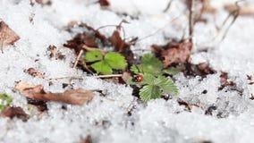 Het rode lieveheersbeestje kruipt op een groen blad stock video