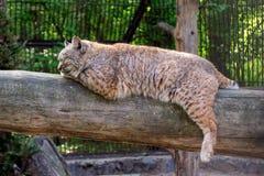 Het rode lynx bobcat slaap liggen stock afbeelding