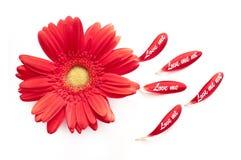 Het rode madeliefje met bloemblaadje houdt van me liefde niet die op wit wordt geïsoleerd Stock Foto