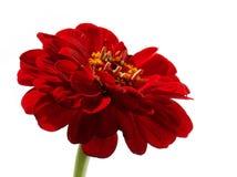 Het rode madeliefje van Gerber Royalty-vrije Stock Foto