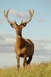 Het rode mannetje van Herten in fluweel Stock Foto
